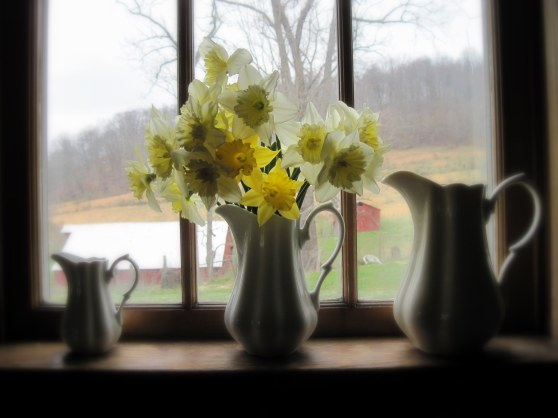 daffodils aw window