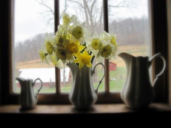daffodils aw window
